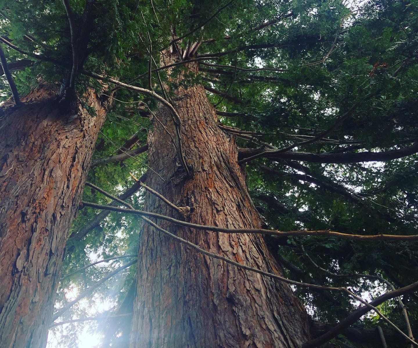 View of redwoods looking up from below