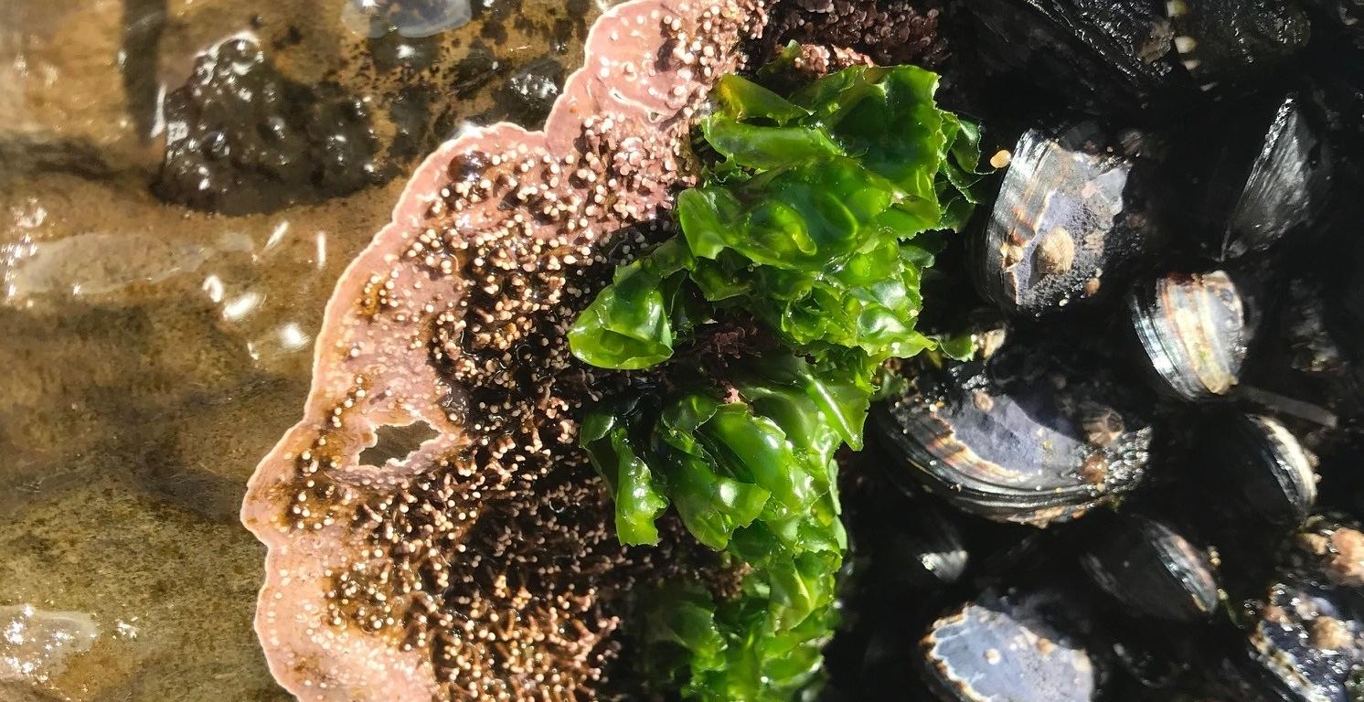 Algae and mussles in a tide pool