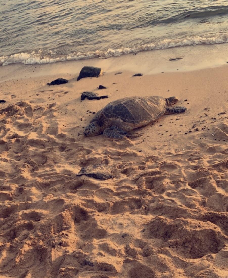 A turtle on the beach in Po'ipu, Kauai!
