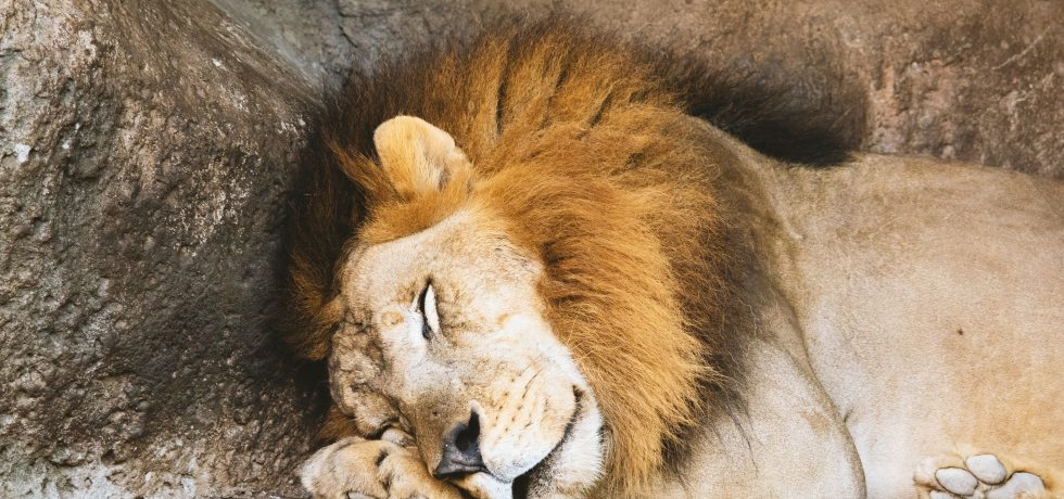 a very cuddly lion that probably won't be so cuddly once he wakes up